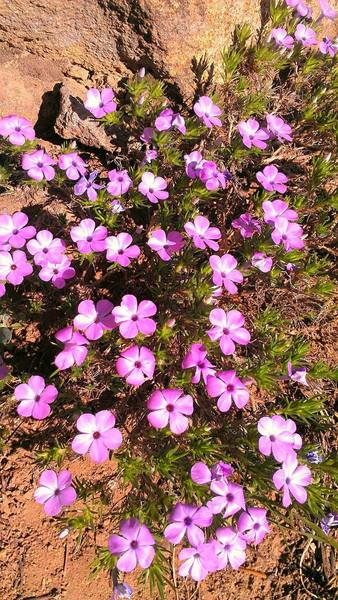 A flock of phlox on the trail to Garfield Peak.
