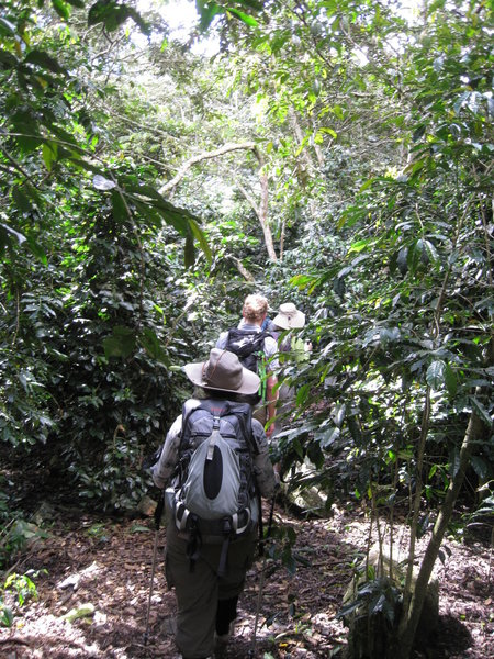 Making our way through the groves of coffee plants to Lucma Lodge.