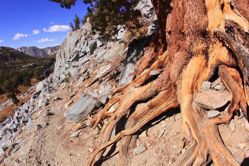 Root of pine tree.