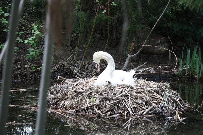 Swan nesting along Boise River.