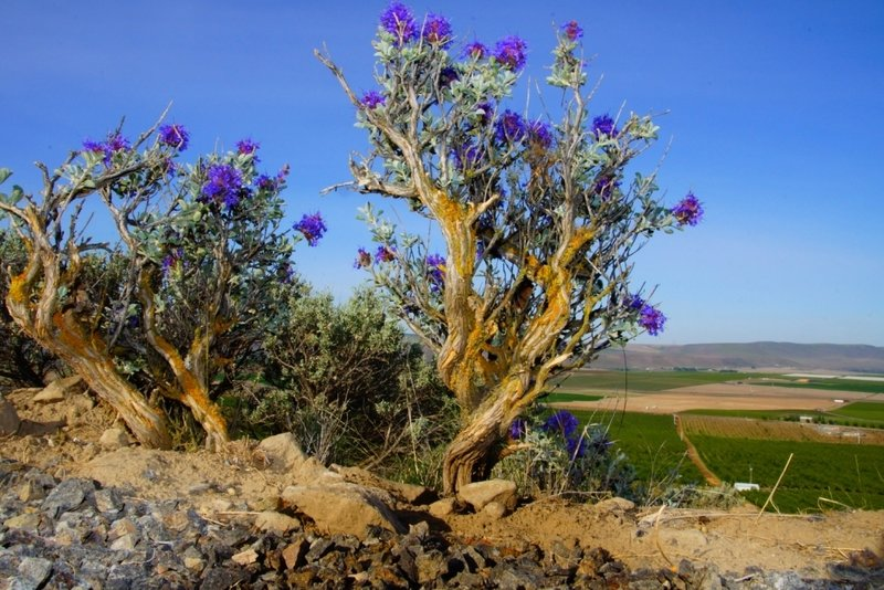 Beautiful desert flora can be found all along the Skyline Trail.