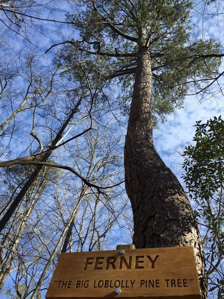 """Ferney"" the big pine tree. It is big, but not sure of it's significance."