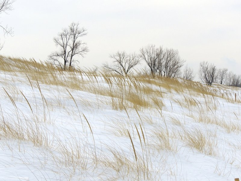 Marram grass in the snow along Lake Michigan.