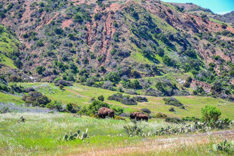 Bison roam near the Trans Catalina Trail.
