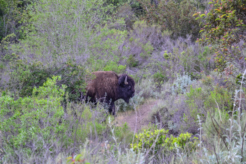 Bison sometimes frequent the Trans Catalina Trail, so keep an eye out!