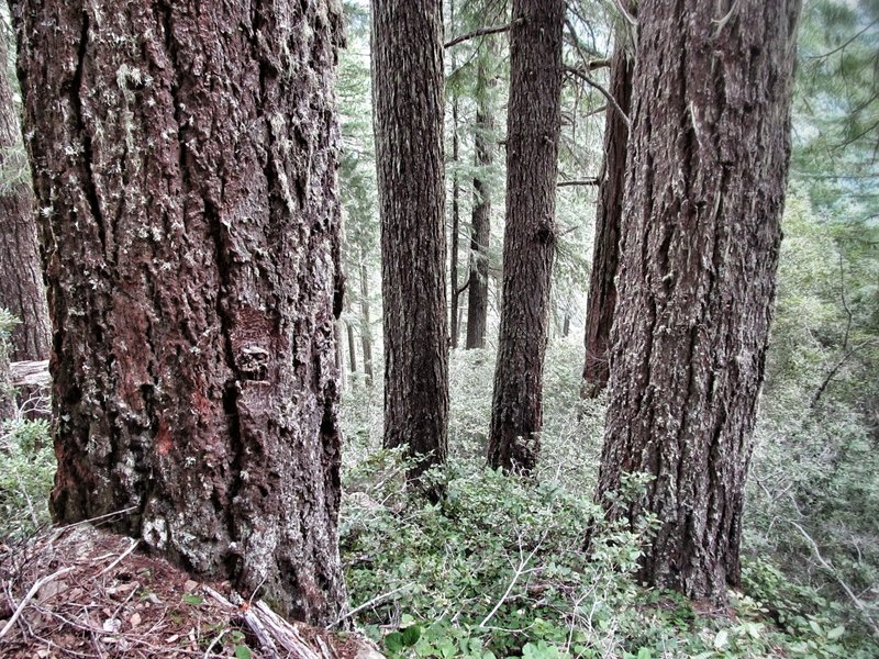 Panther Ridge and Clay Hill boast the most contiguous, impressive stands of virgin old growth west of Interstate 5.