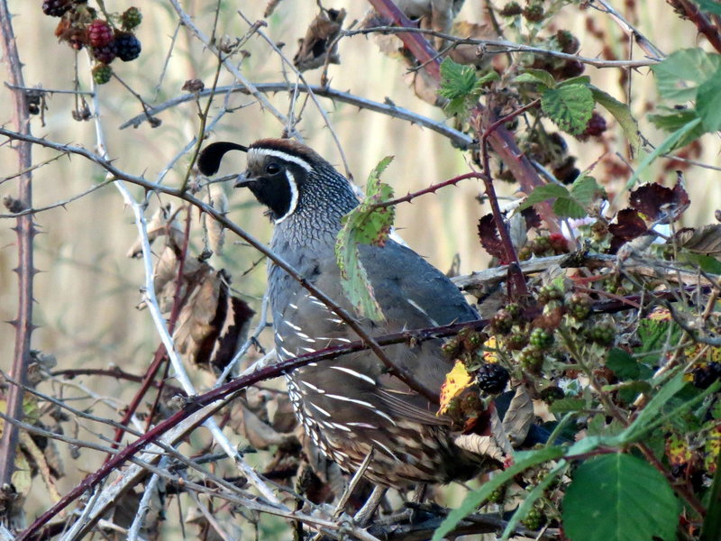 California Quail might accompany your tour of the Creek Trail.