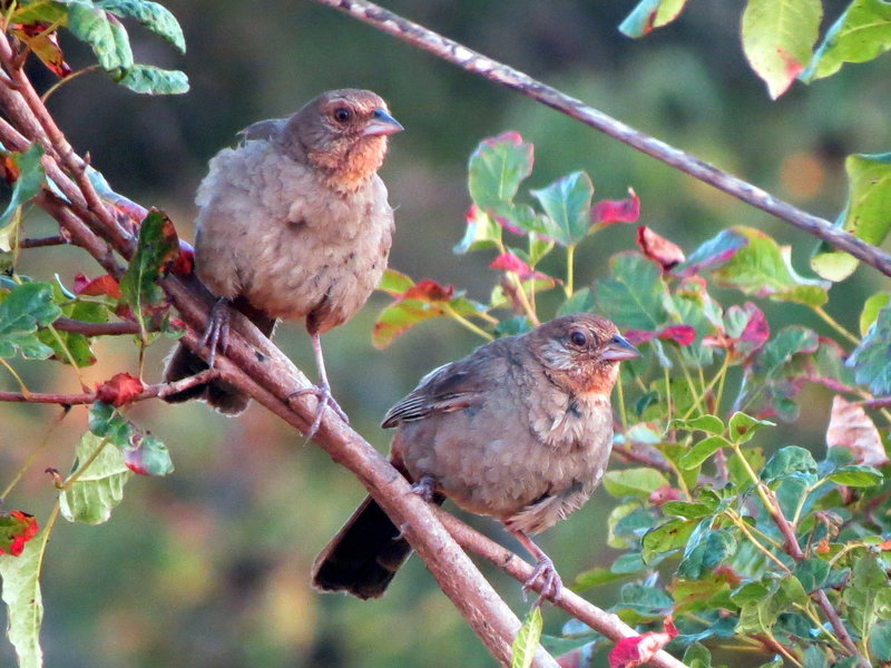 California Towhees can be seen from the Fiddleneck Trail in the right seasons.