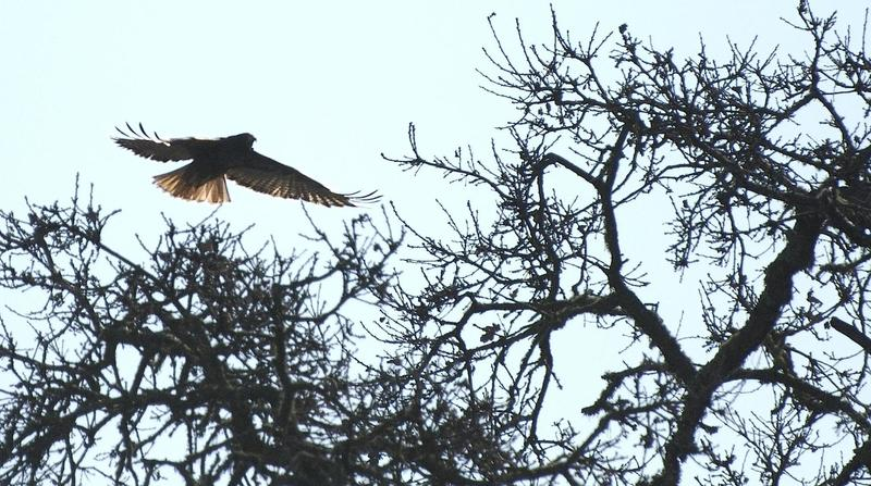 A hawk in flight hovers over the Fiddleneck Trail.