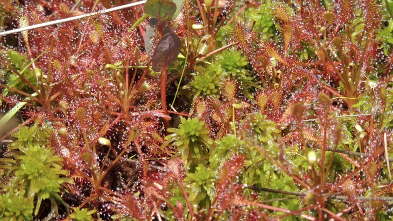 Sundew plants at Pinhook Bog.