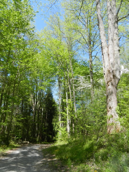 Jakes Creek Trail - gravel road.  Flowering trees during the springtime.