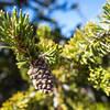 Bristlecone Pine branch.