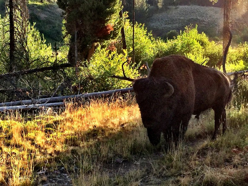 A buff wanders thru camp at 3L2 on Cache Creek. Use the downfall to your advantage when selecting a tent site!