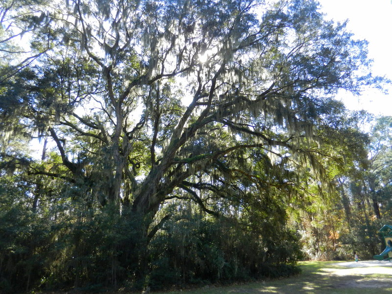 Giant live oaks with Spanish moss shade the path.