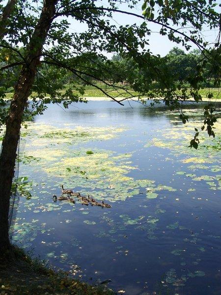 Ducklings on Lake Katherine.