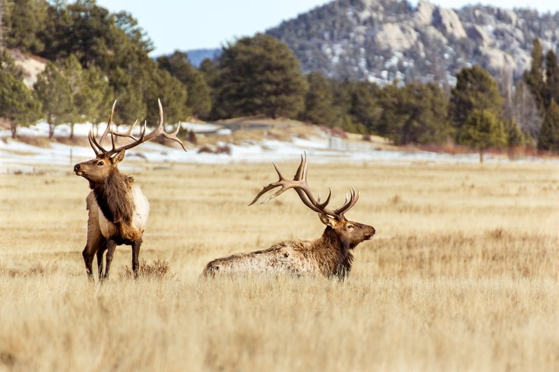 Bull Elk at Sheep Lake/Horseshoe Park