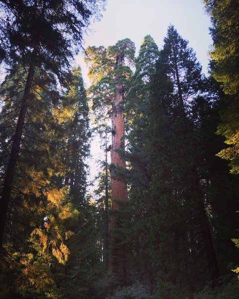 General Grant Tree.