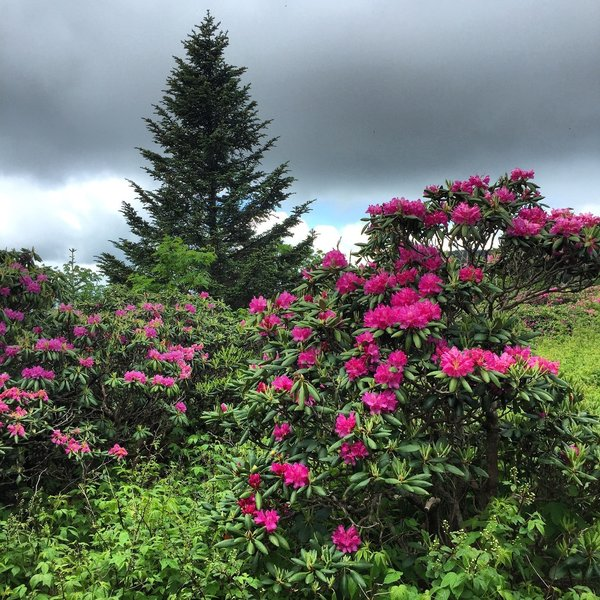 Rhododendron gardens in bloom.