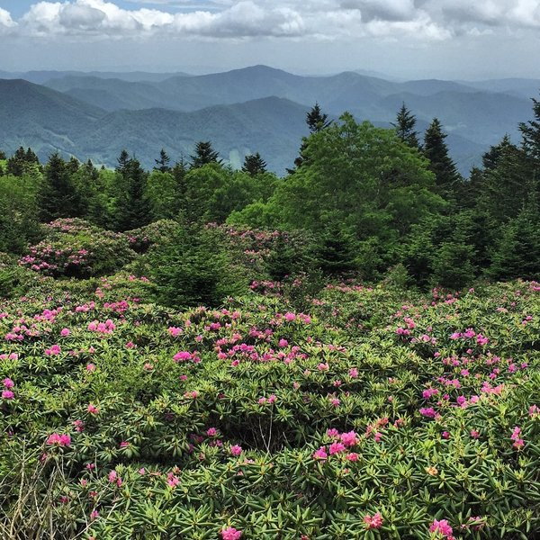 Rhododendron Gardens in Bloom