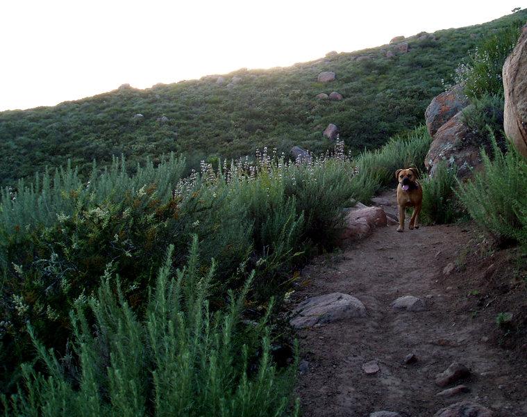 Evening hike: four-legged hiker.