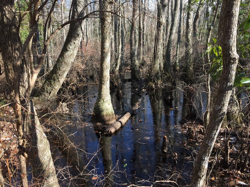 Bald Cypress swamp on the Kingfisher Trail.