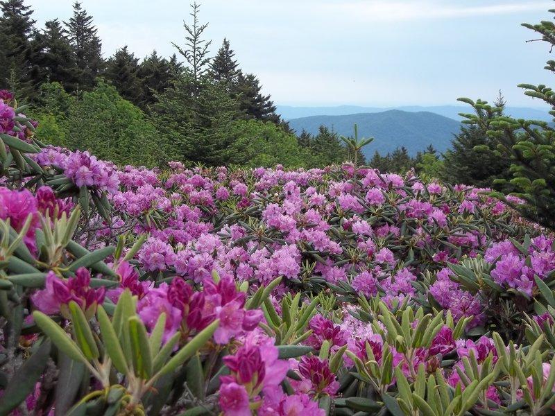Rhododendron Gardens atop Roan Ridge!