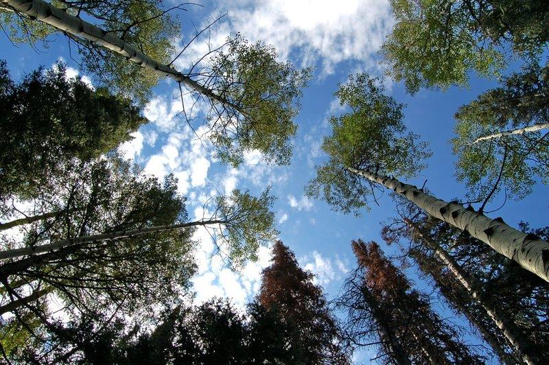 Look up - Beautiful Aspens along Donut Falls Trail.