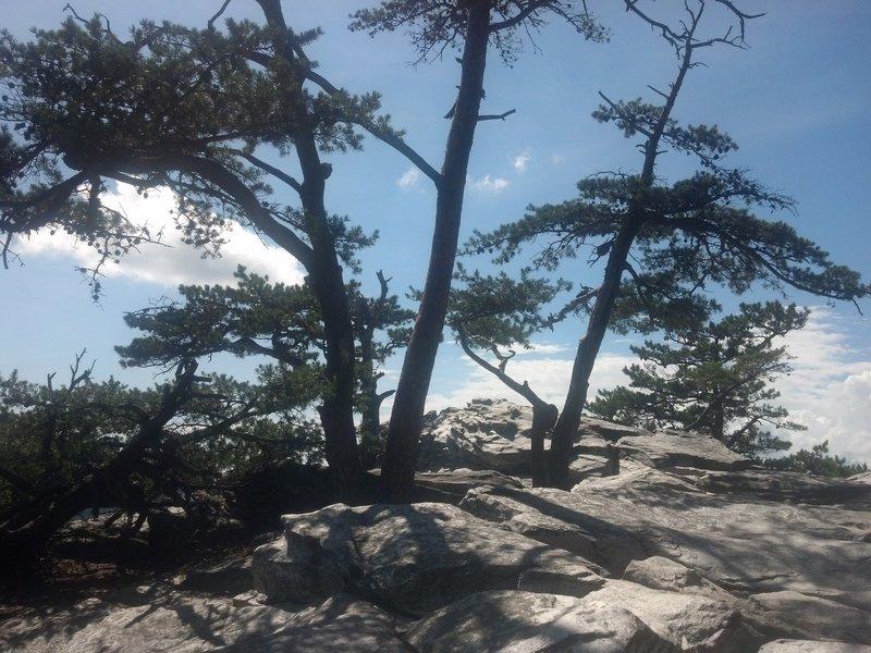 Pines on Hanging Rock
