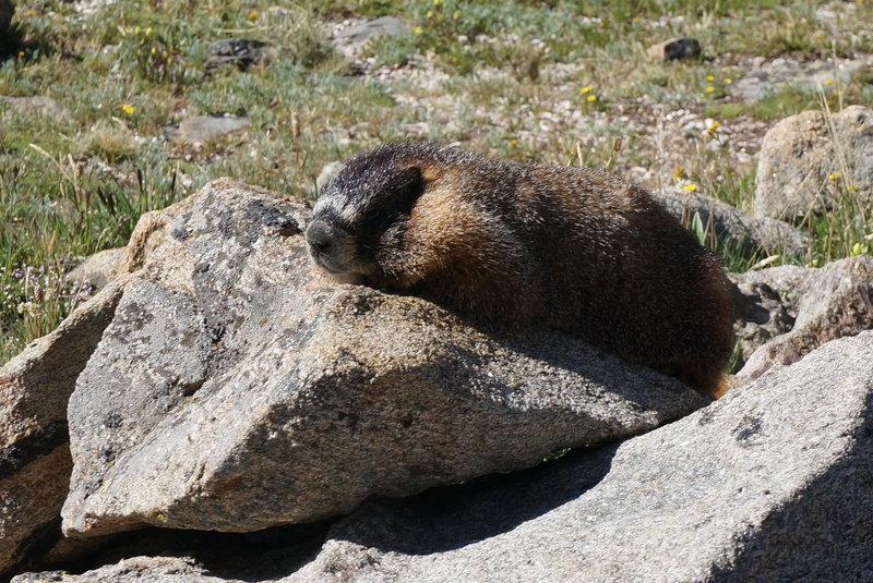 A Friendly Marmot