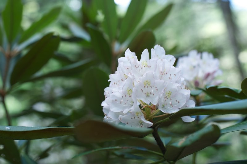 Rhododendron blooms as you hike the trail in June.