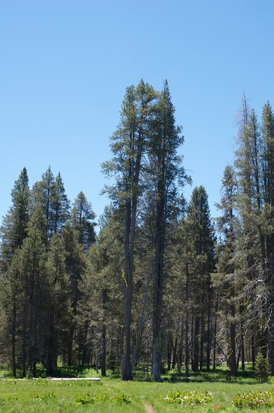 The trail tips in and out of lodgepole pine forests as it skirts the meadow.