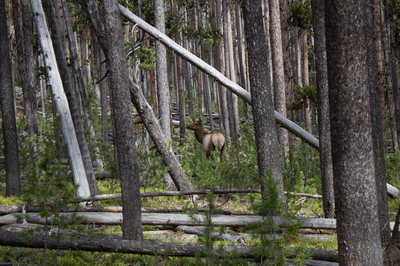 Cow elk along trail.