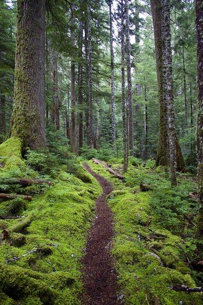 Trail through old growth.