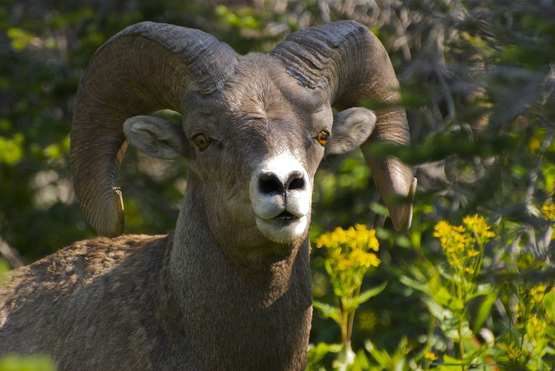 Bighorn sheep in the tree line.