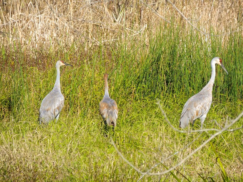 Sandhill crane family in the Great Marsh. These birds are so large with the most amazing calls.