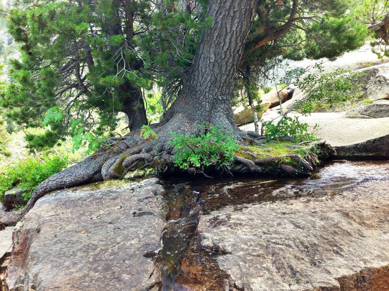 A cool tree near Cascade Creek.