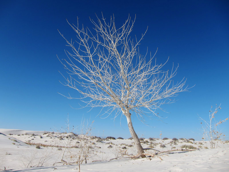 Rio Grande cottonwood (Populus deltoides subsp. wislizeni) on White Sands National Monument Dune Life Nature Trail