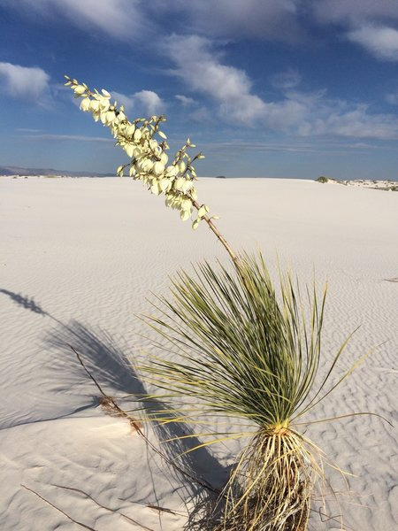 Flowering plant on the dunes.
