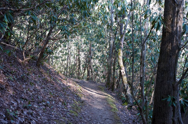 The trail is fairly narrow as it goes through a rhododendron grove.