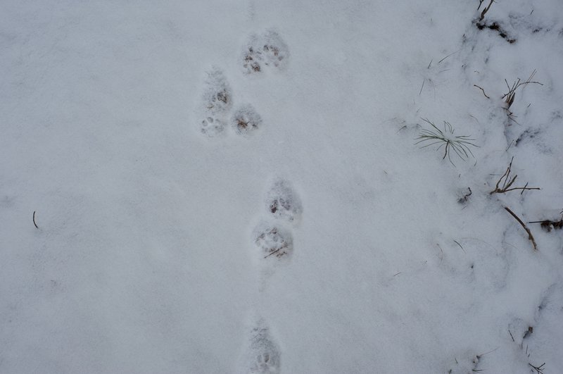 Humans aren't the only ones who use the trails.  Evidence of wildlife in the area as we walk through fresh snow.