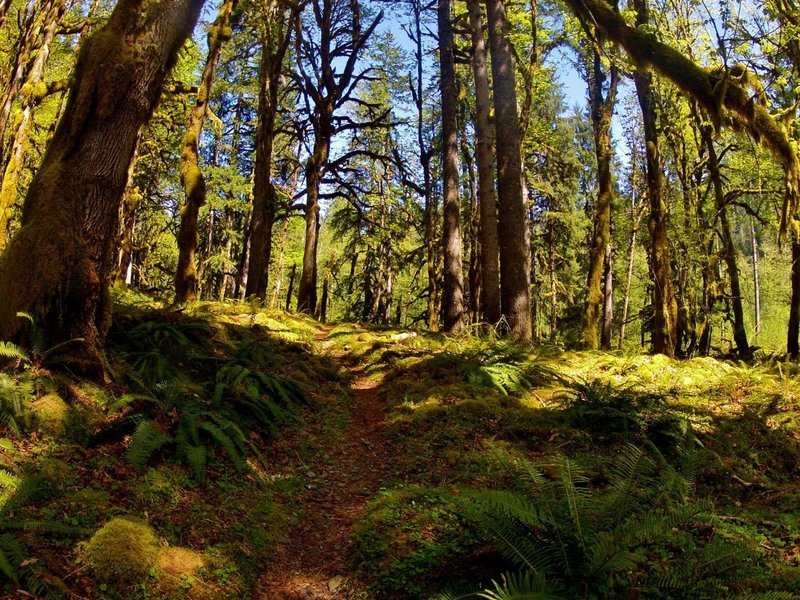 Summer on the North Fork Quinault Trail.