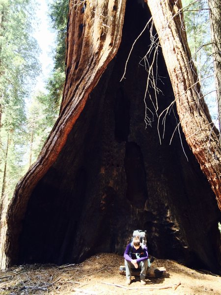 Hart Tree - One of the 20 largest sequoias.