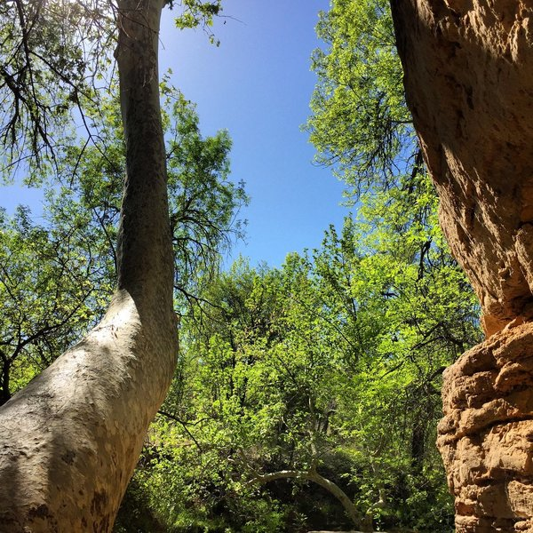 Massive Arizona Sycamores at Montezuma Well