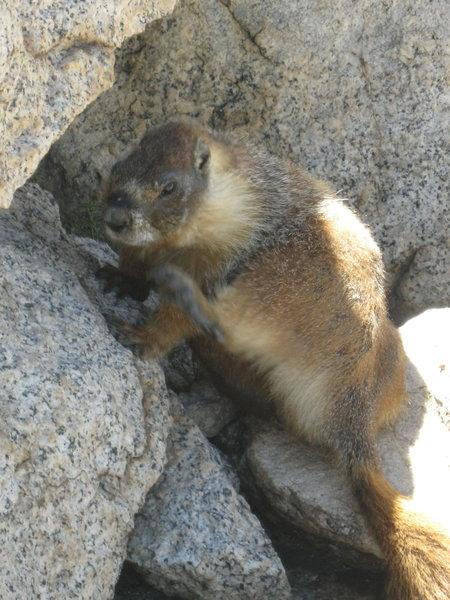 Marmot on top of Mt. Hoffman.