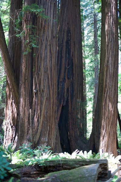 Redwoods are abundant along the Main Trail.