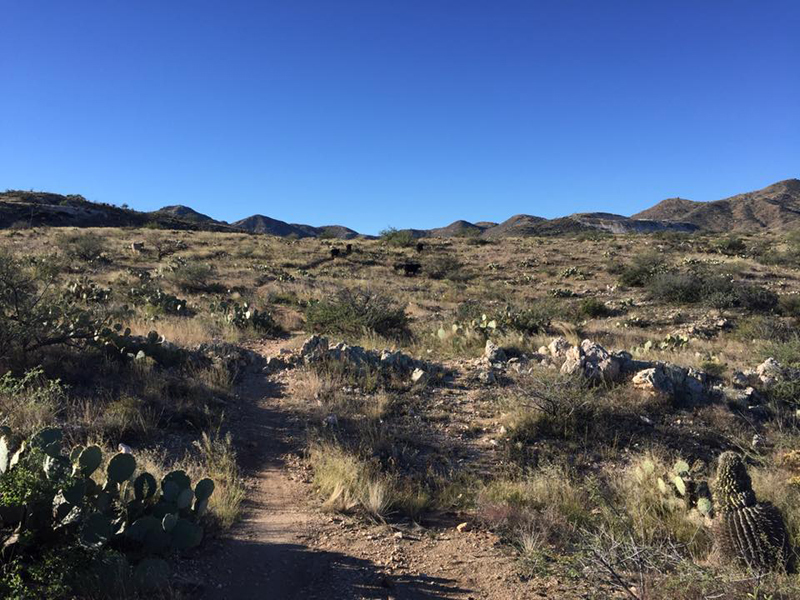 Near the highest point of this loop run, with the Tortolitas in the distance and cows on the trail ahead.