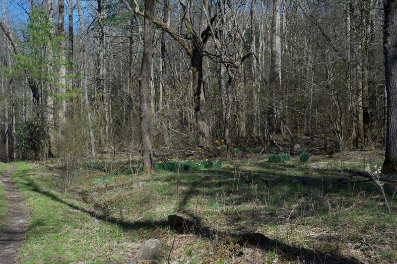 The daffodils are usually seen around old homesites. Here, the trail opens up where old farms and homesites once existed.