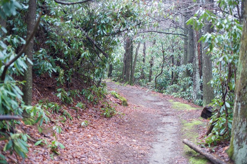 Anthony Creek Trail as it works its way through a rhododendron forest.