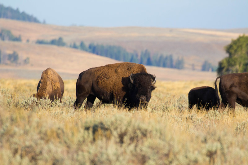 Bison along the Lamar River Trail.