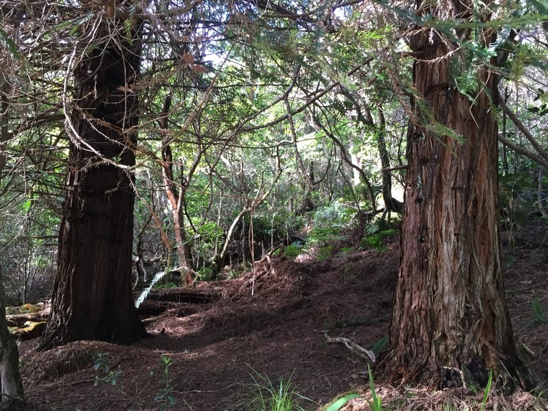 Two redwood trees right off the trail.